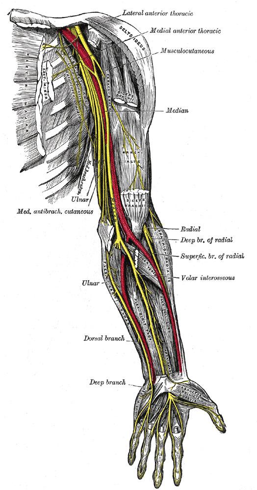 arm anatomy